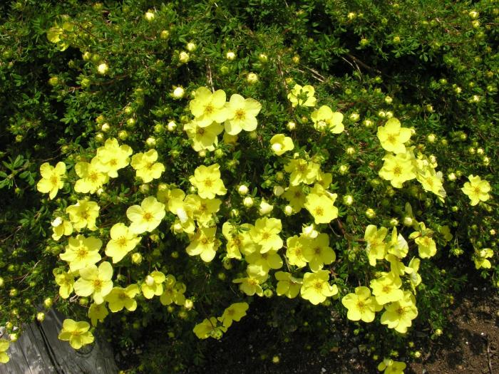 лапчатка кустарниковая в саду фото