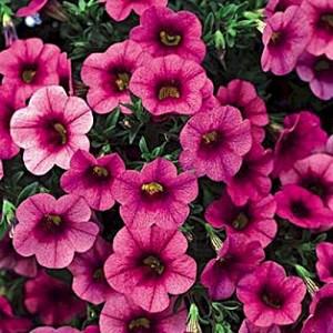 Цветок, петунья