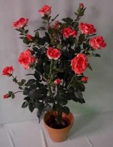 Уход ,комнатная роза