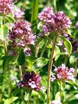 Трава чабрец (Thymus) или тимьян – это растение из семейства «Яснотковые» - «Lameaceae». Произрастает в виде приземленных полукустарничков.