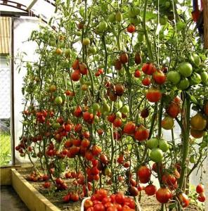выращивание ,уход за помидорами