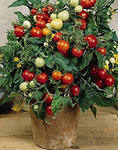 выращивание комнатных помидоров