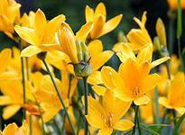 цветок лилейника