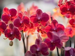 цветок орхидея фаленопсис