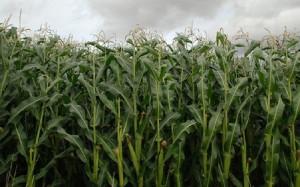 Происхождение кукурузы