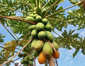 Растение хлебное дерево