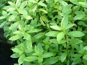 Растения для сахара